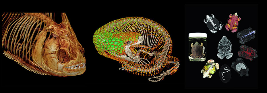 CT scans of a pirañha, a Mexican beaded lizard, and an iodine-injected frog
